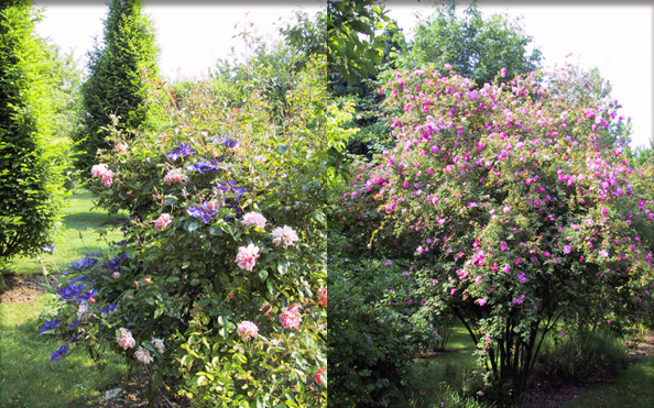 the rose garden. Black Bedroom Furniture Sets. Home Design Ideas